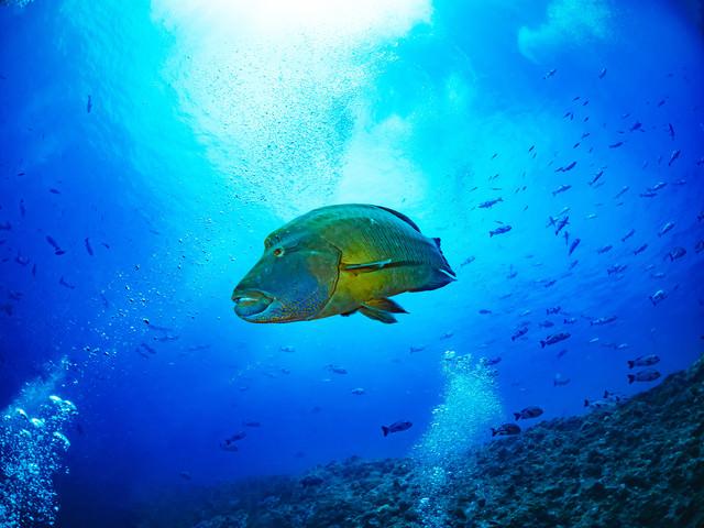 優雅に泳ぐナポレオンフィッシュ(メガネモチノウオ)の写真