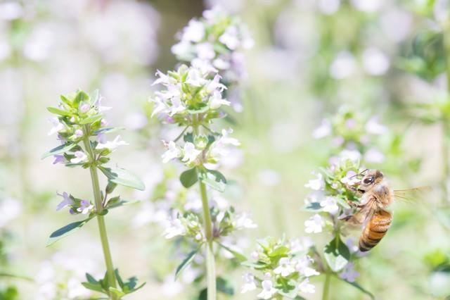 ミツバチには同じ花を訪れ蜜を集める習性があるの写真