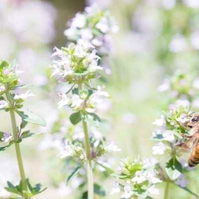 「ミツバチには同じ花を訪れ蜜を集める習性がある」の写真素材