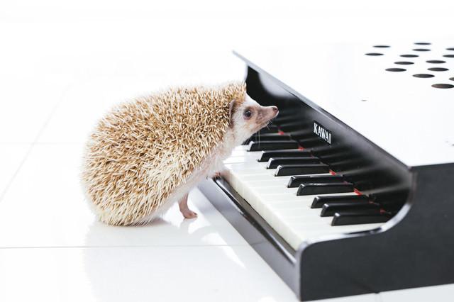 ハリネズミのピアニストの写真