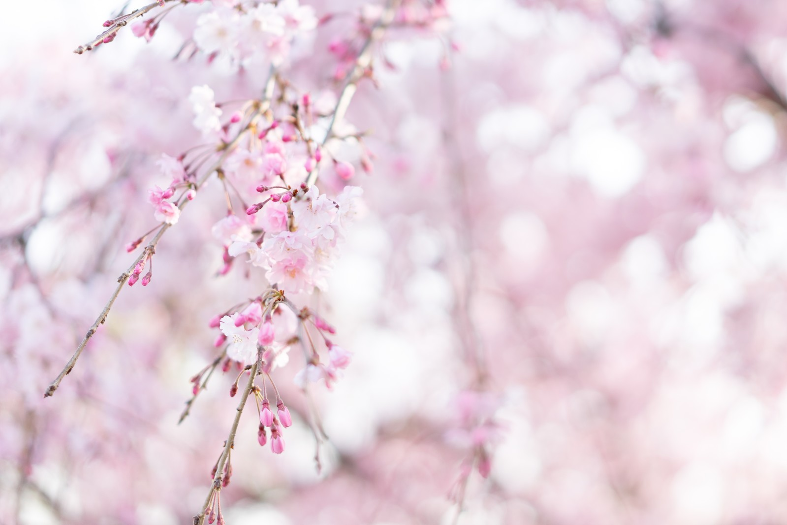 「桜の蕾がほころぶ」の写真
