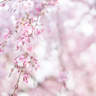 桜の蕾がほころぶの写真