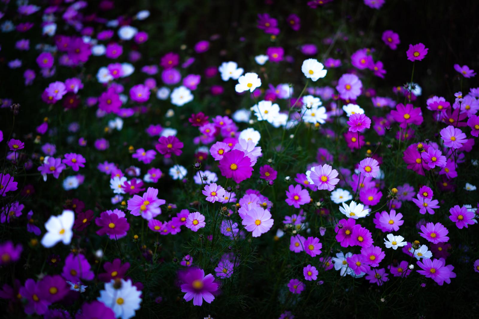 「野に咲くコスモスの花」の写真