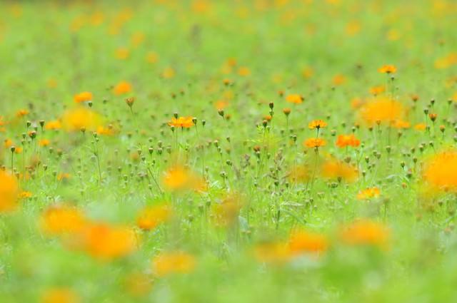 花ひらくとき(キバナコスモス)の写真