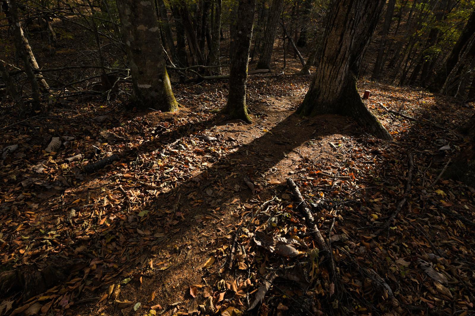「秋の森林に伸びる木々の影」の写真