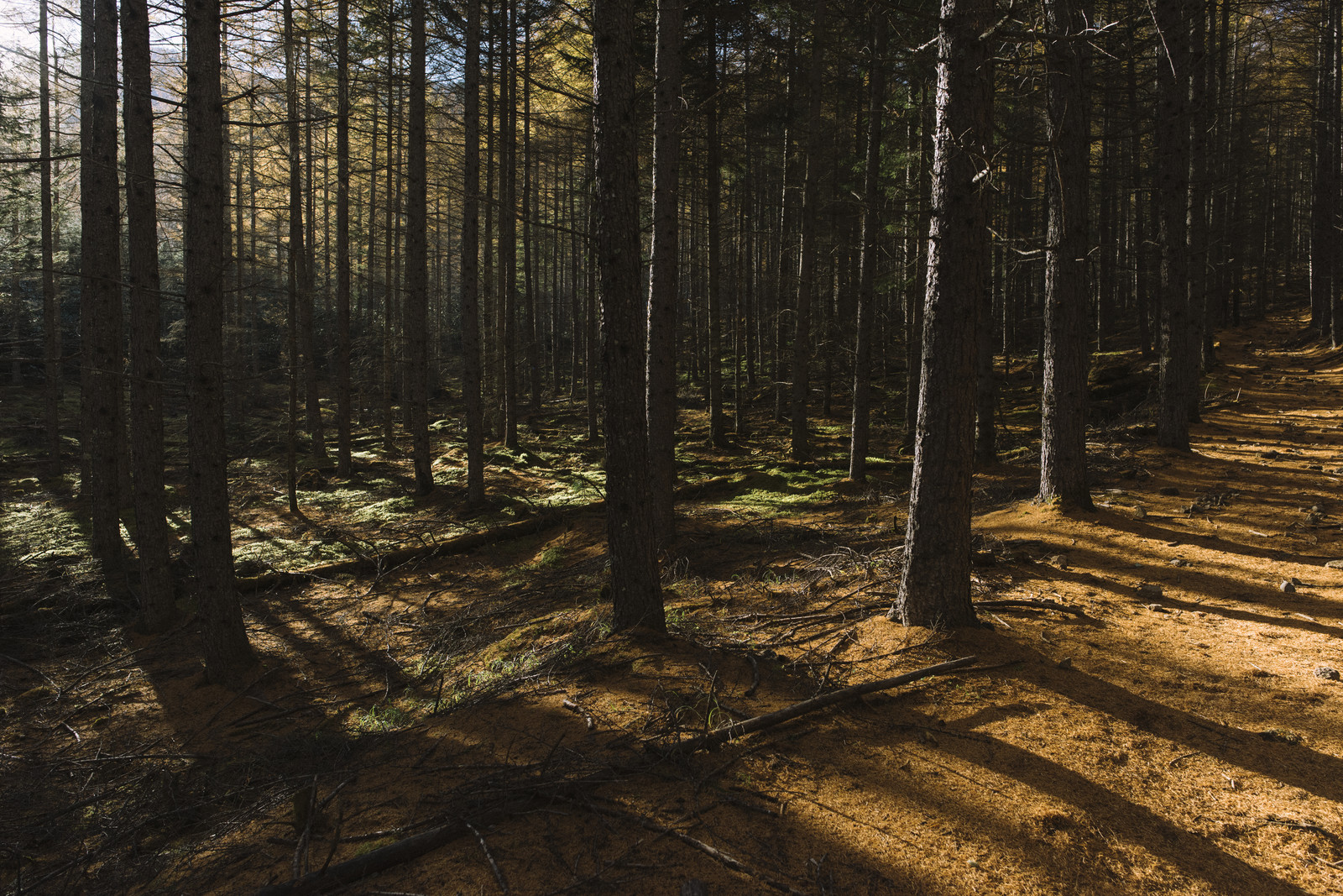 「唐松の落葉の絨毯を歩く登山道(甲武信ヶ岳)」の写真