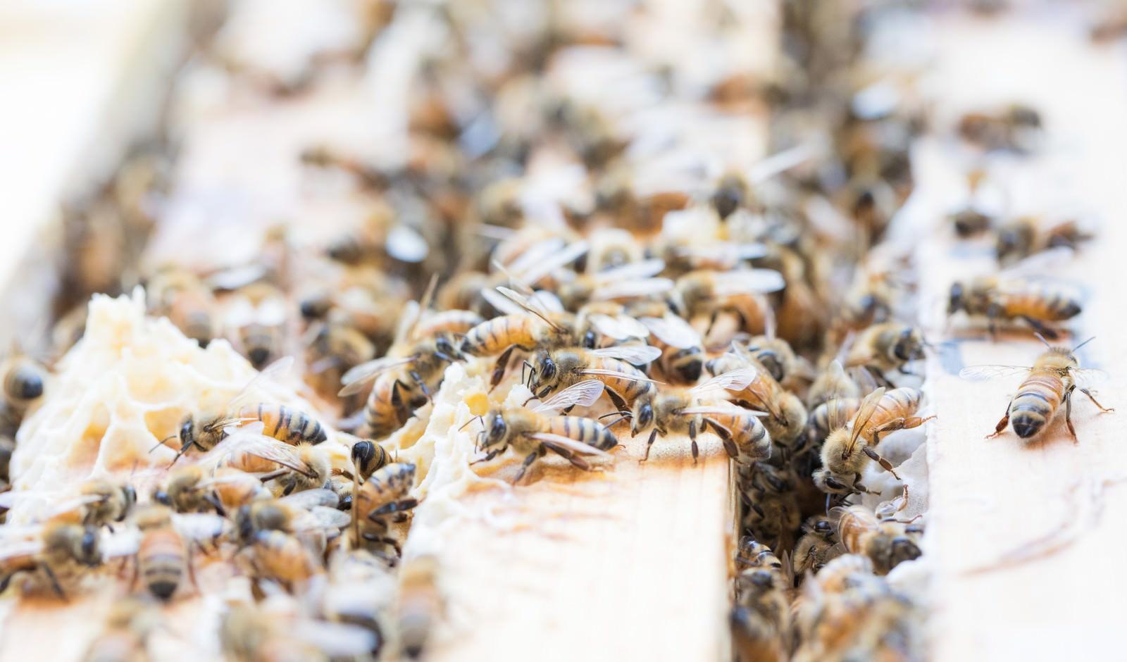 「巣板の上に群がるミツバチ | 写真の無料素材・フリー素材 - ぱくたそ」の写真