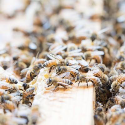 巣板の上に群がるミツバチの写真