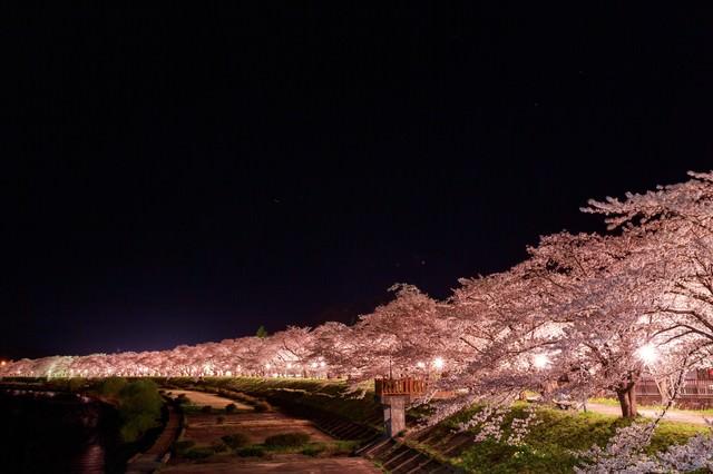 「角館桧木内川の夜桜(夜景)」のフリー写真素材