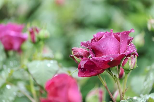 雨のしずくとバラの写真