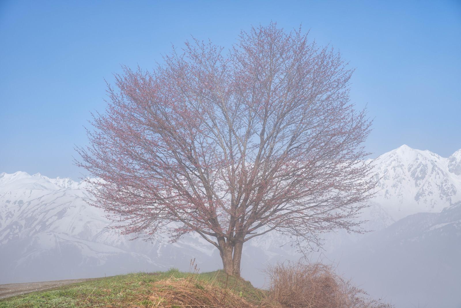 「野平の桜の木」の写真