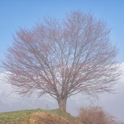 野平の桜の木の写真