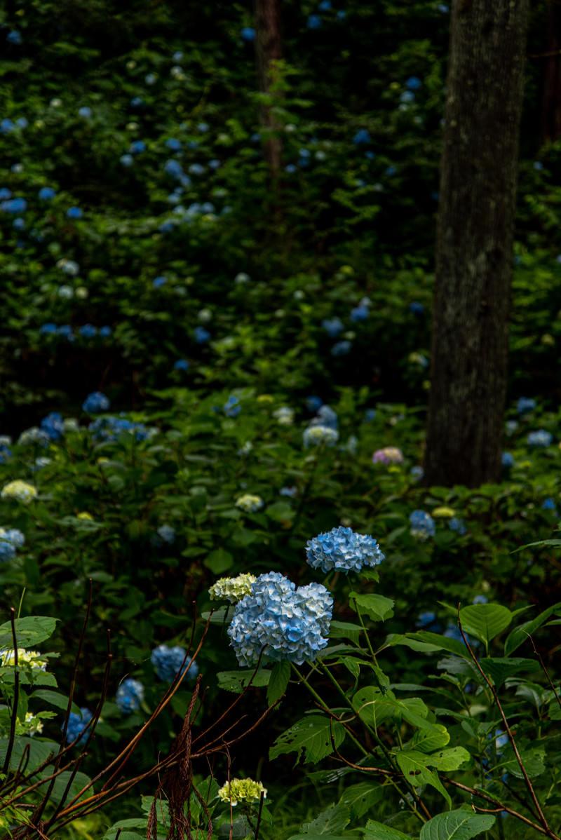 「森に群生するアジサイ(アジサイ公園)」の写真