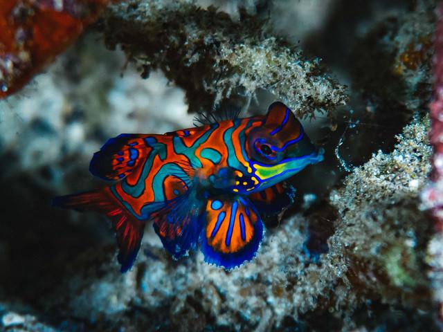 人気ある熱帯魚(ニシキテグリ)の写真