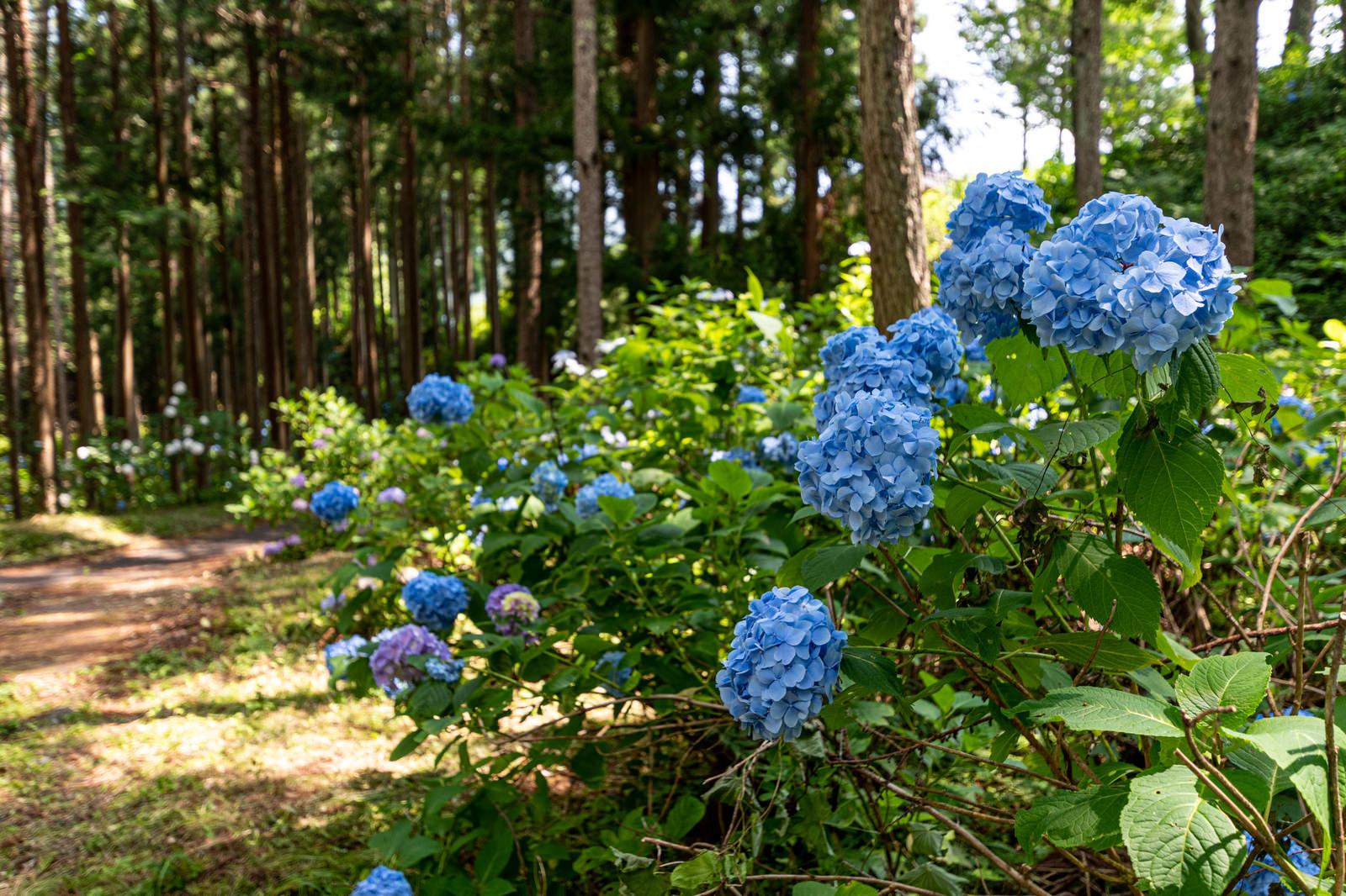 「森の小道に咲く紫陽花(アジサイ公園)」の写真