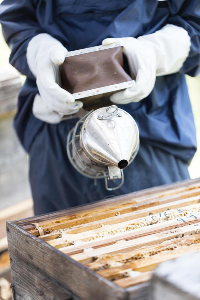 燻煙器を使って蜂をおとなしくさせる(養蜂)の写真