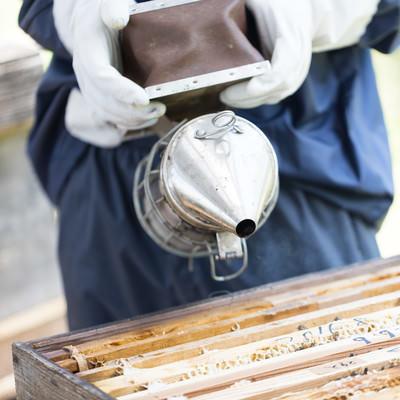 「燻煙器を使って蜂をおとなしくさせる(養蜂)」の写真素材