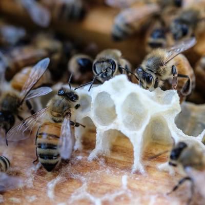 「巣を拡張しているミツバチとミツロウ」の写真素材