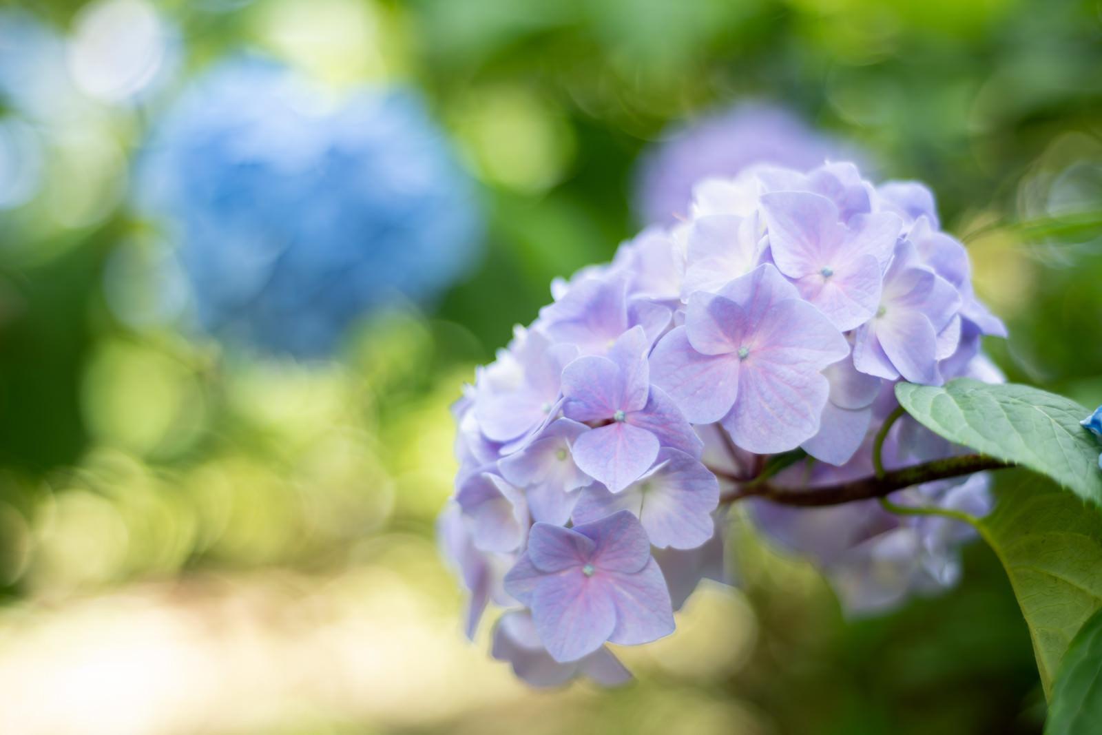 「木漏れ日に包まれる紫陽花(アジサイ公園)」の写真