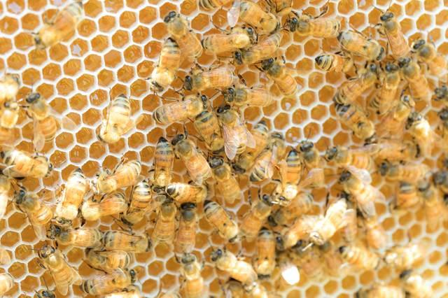 新しい巣に蜜を貯めていくミツバチの群れの写真