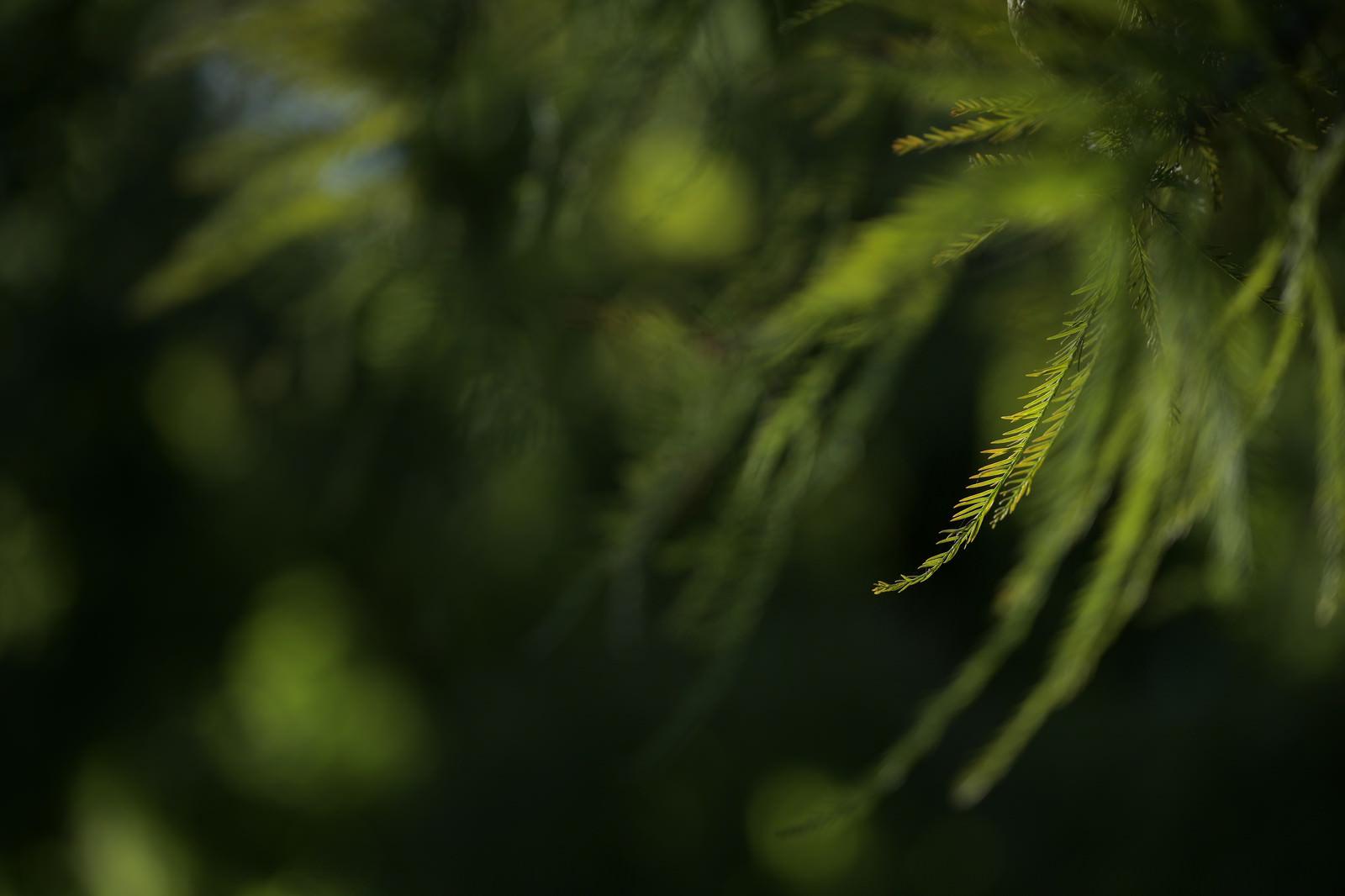 「木漏れ日を受ける松葉」の写真
