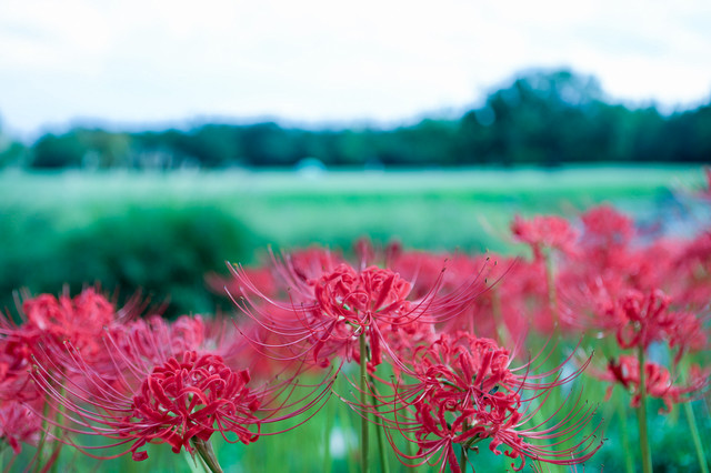 畦に咲く曼珠沙華(マンジュシャゲ)の写真