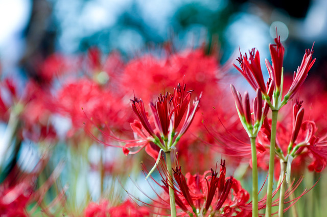 開花前のヒガンバナの蕾の写真