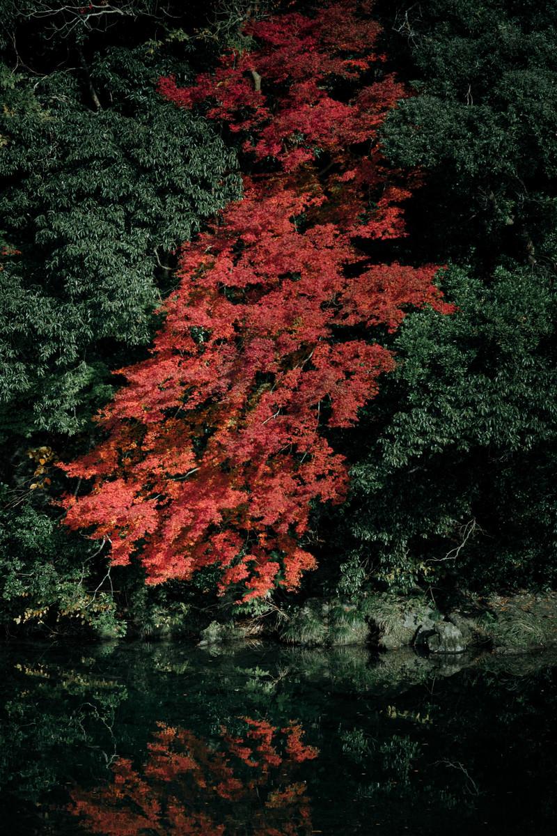 「紅葉した川端のもみじ」の写真
