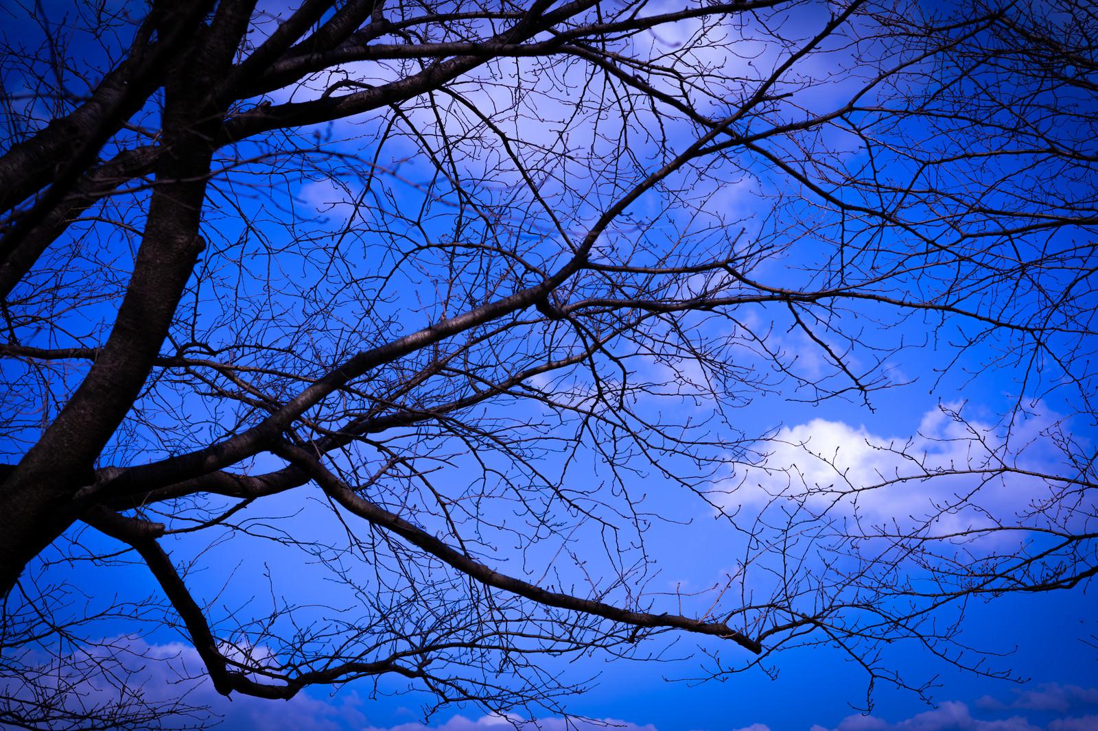 「張り巡る枝越しに見る青い空」の写真