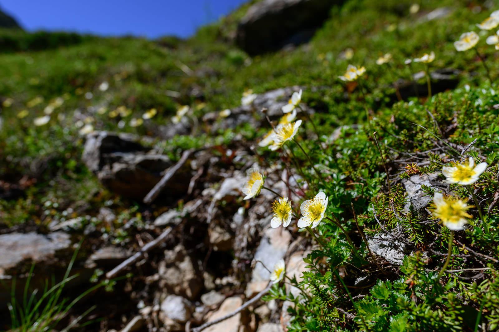「空に向かって咲くチングルマ(高山植物)」の写真