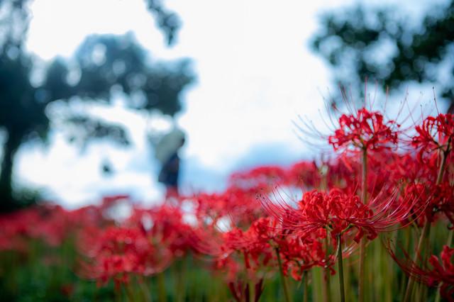 連なる彼岸花(曼珠沙華)の写真