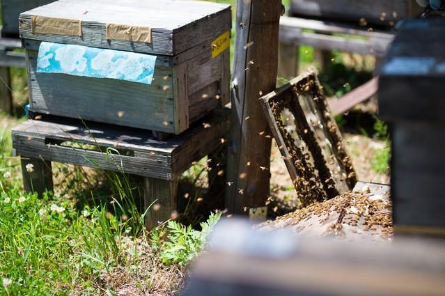 ミツバチの巣箱の蓋を開けて飛び立つ働き蜂の写真