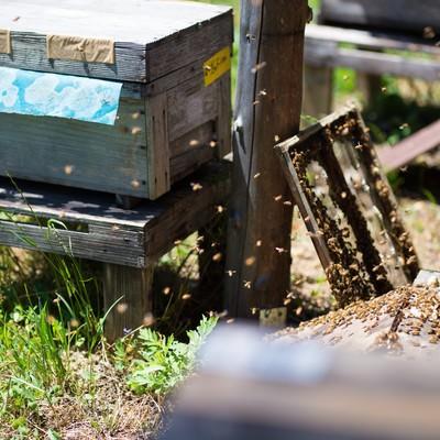 「ミツバチの巣箱の蓋を開けて飛び立つ働き蜂」の写真素材