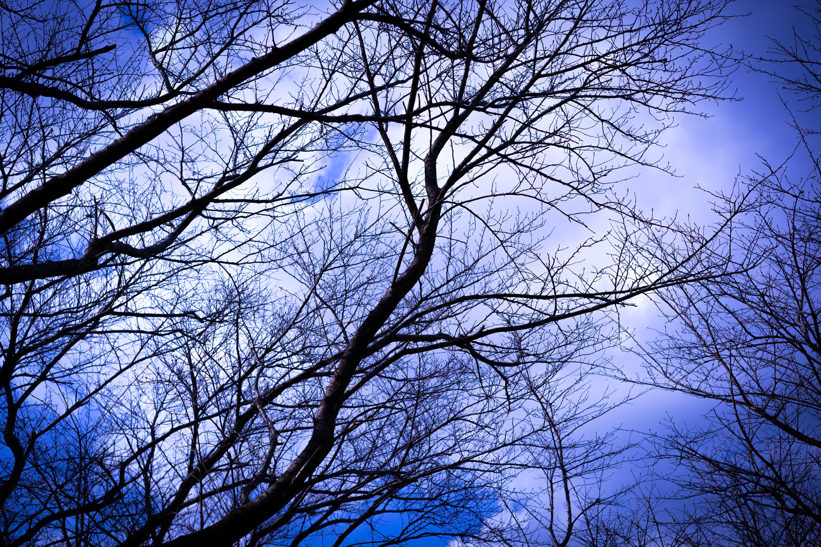 「木々の枝と白い雲」の写真