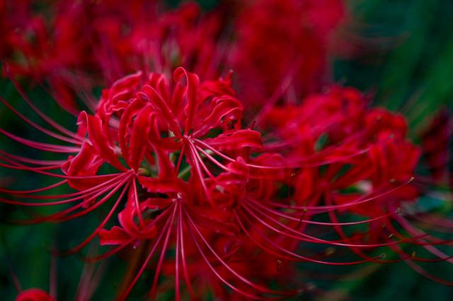 彼岸花(ヒガンバナ・曼珠沙華)の写真