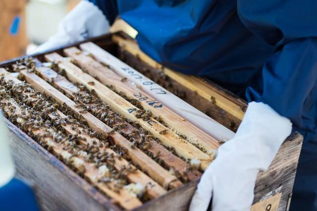 ミツバチの巣箱の生態チェックを行う管理者の写真