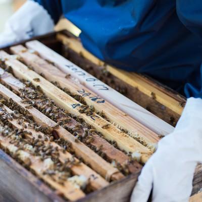 「ミツバチの巣箱の生態チェックを行う管理者」の写真素材