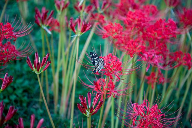 彼岸花に止まる揚羽蝶(アゲハチョウ)の写真