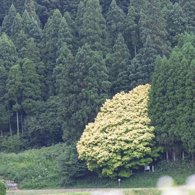 「七色樫(6月中旬)」の写真素材