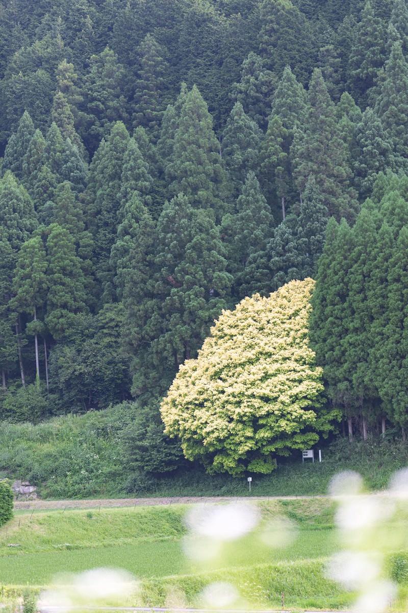 「七色樫(6月中旬)」の写真