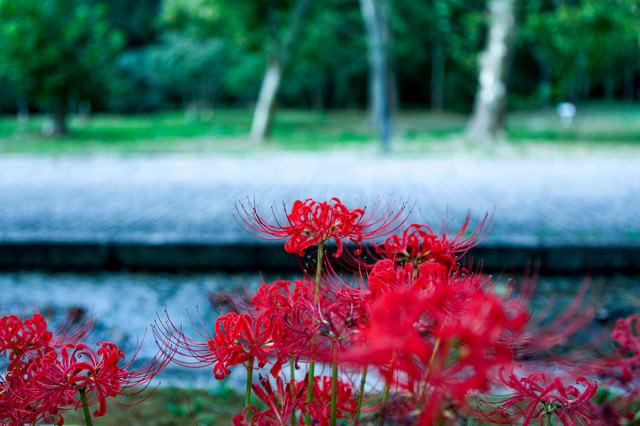 公園に咲く彼岸花(ヒガンバナ)の写真