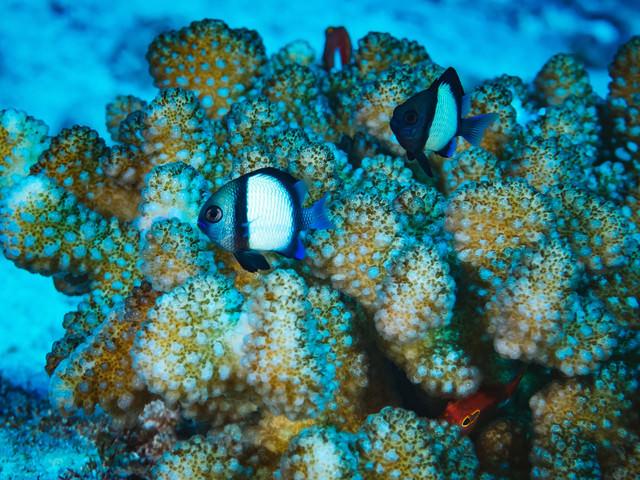 フタスジリュウキュウスズメダイと珊瑚の写真