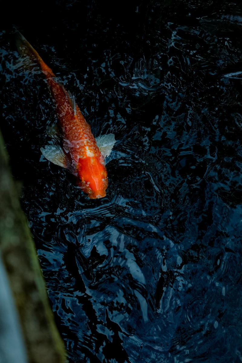 「池を泳ぐ橙色の鯉」の写真