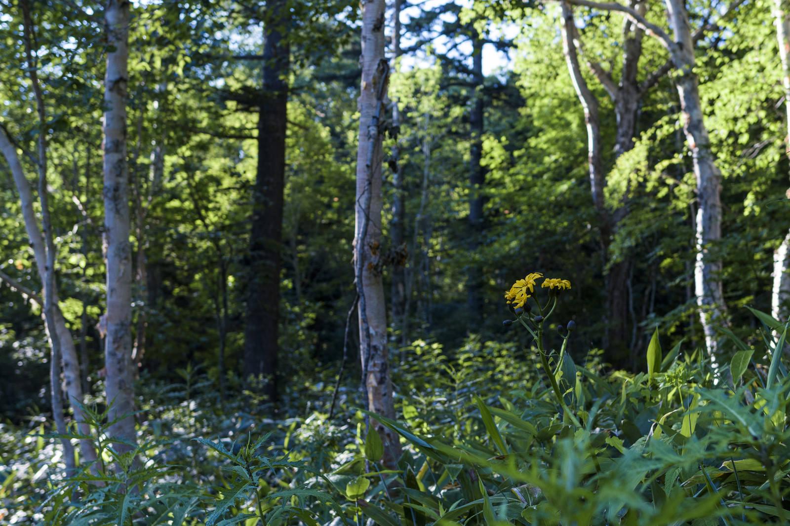 「尾瀬の森に咲くマルバダケブキ」の写真