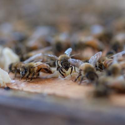 「至る所に蜜蝋で巣を拡張しようとする働き蜂」の写真素材