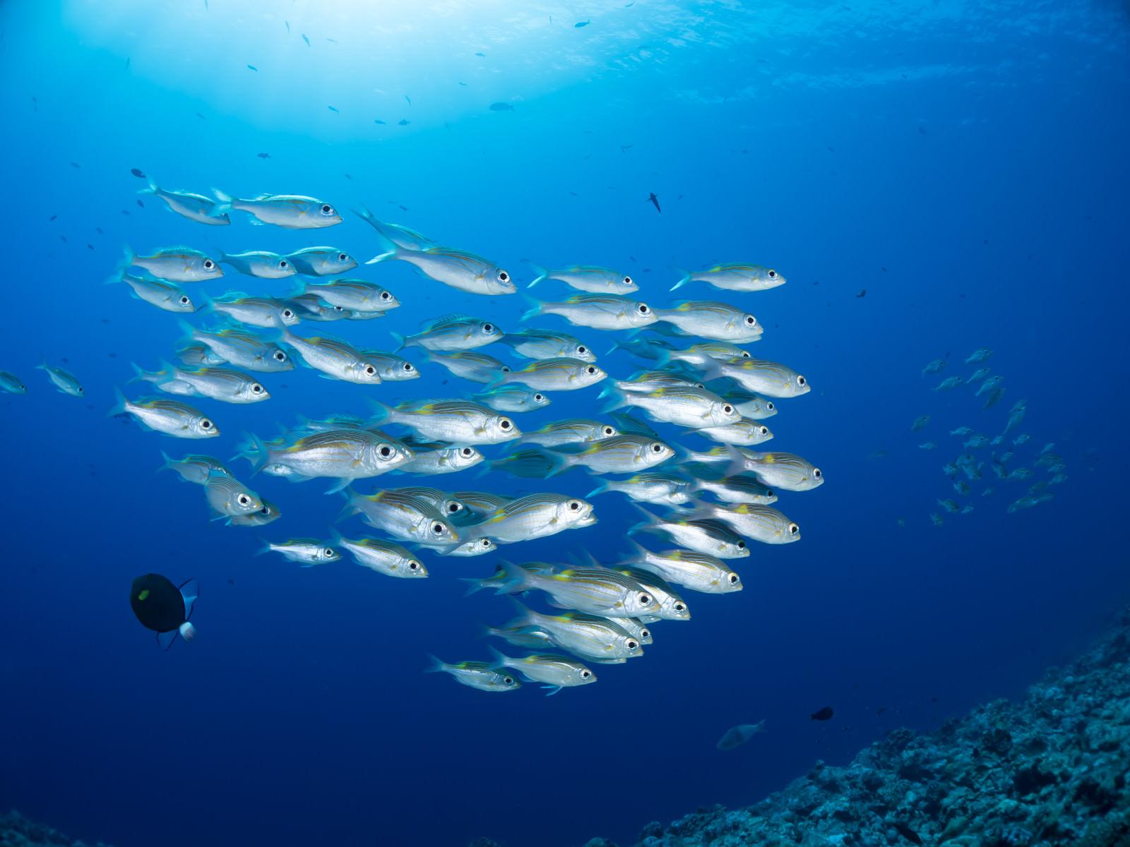 「中層を泳ぐノコギリダイ中層を泳ぐノコギリダイ」のフリー写真素材を拡大