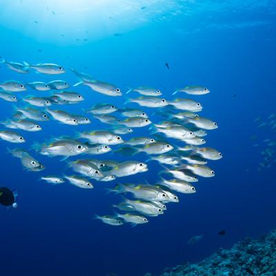 中層を泳ぐノコギリダイの写真