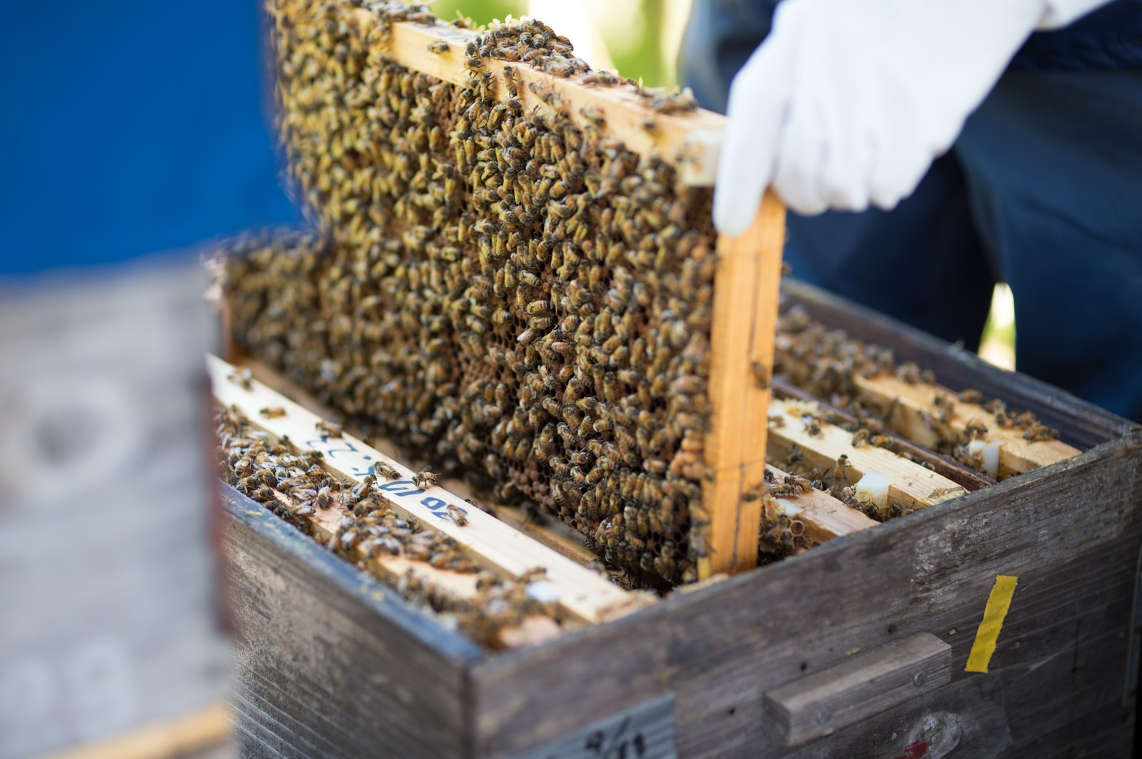 「蜜蜂の巣板をチェックする」の写真