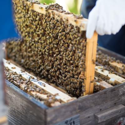 「蜜蜂の巣板をチェックする」の写真素材