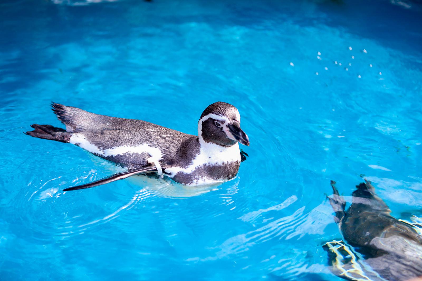 「水族館のプールに浮かぶペンギン」の写真